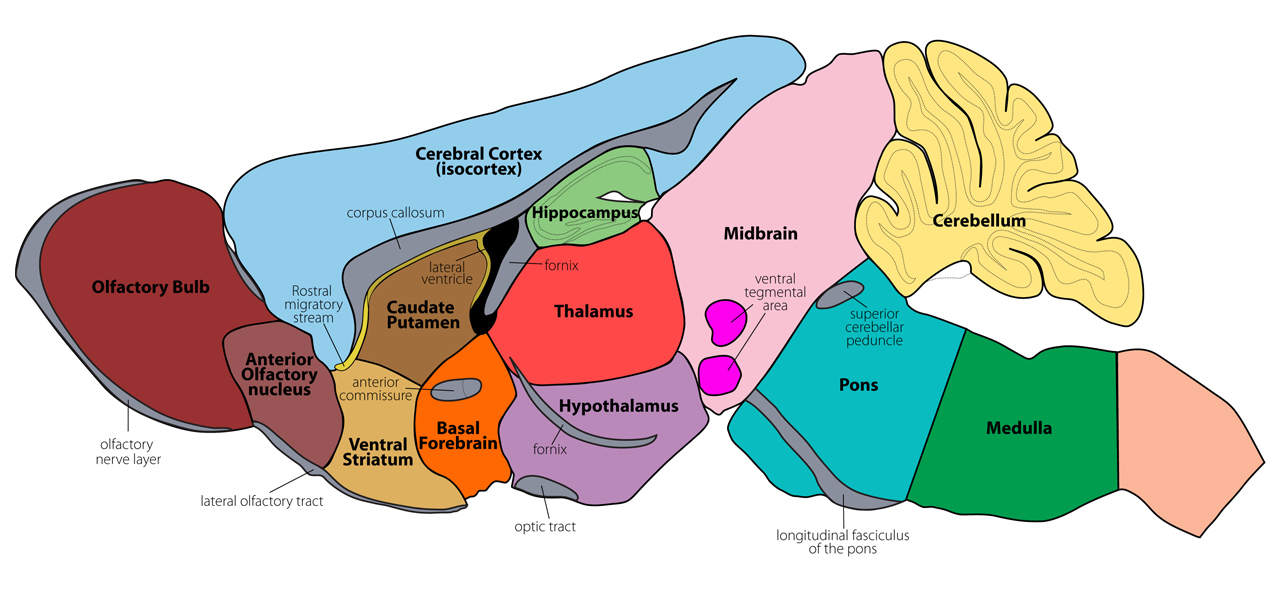 mouse brain atlas section08