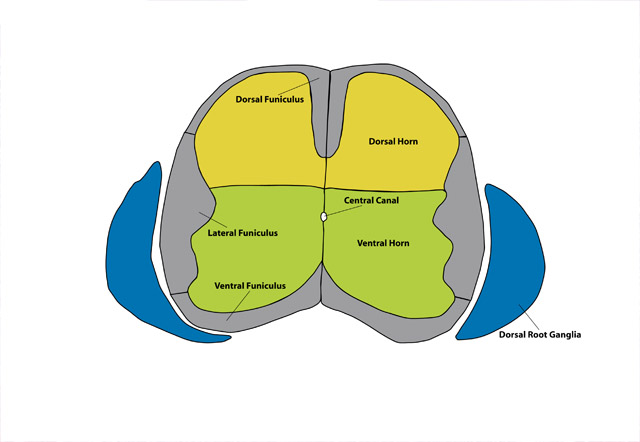 mouse brain atlas sectionC