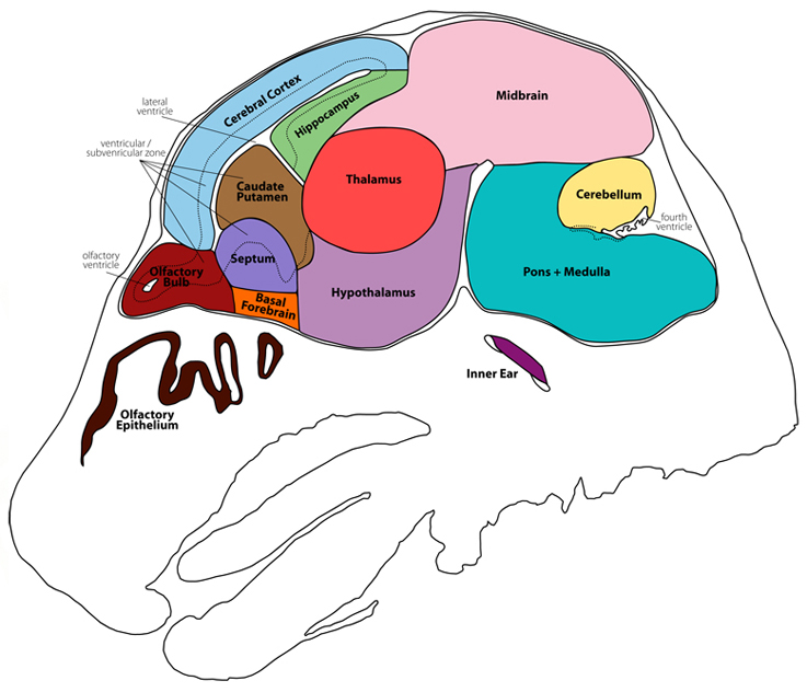 mouse brain atlas section05