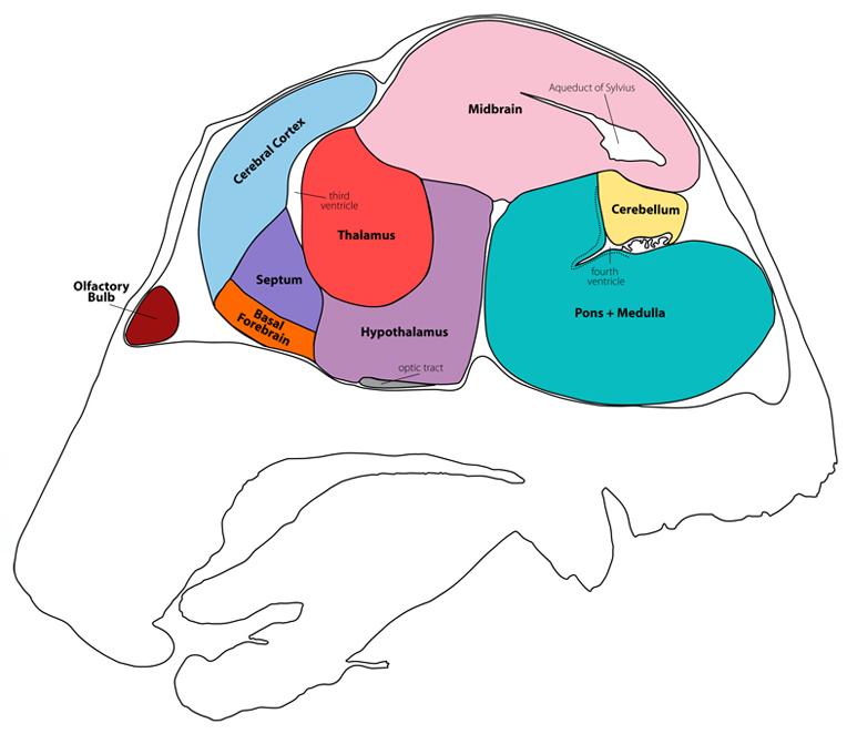 Gensat project at rockefeller university mouse brain atlas image mouse brain atlas section07 ccuart Image collections