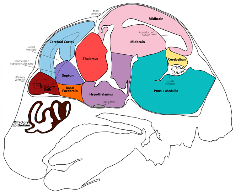 mouse brain atlas section09