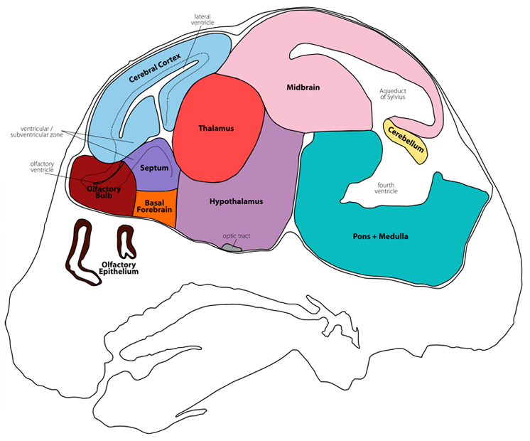 mouse brain atlas section10